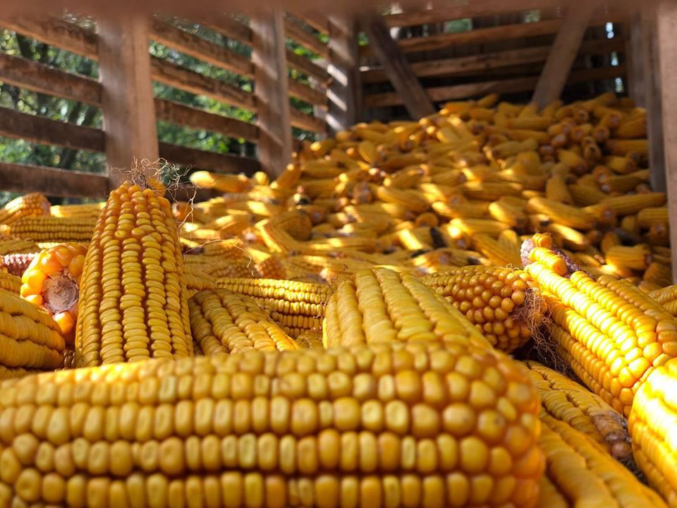 Znatan međugodišnji skok cena kukuruza, soje i pšenice
