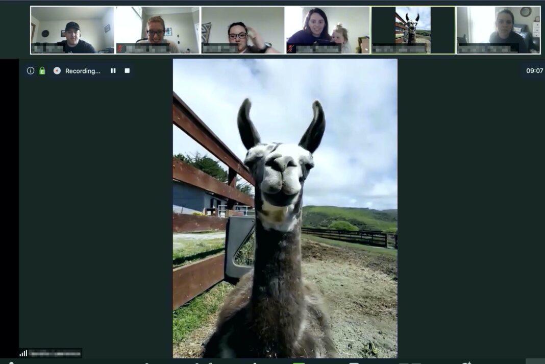 Farma zaradila iznajmljujući koze za Zum sastanke
