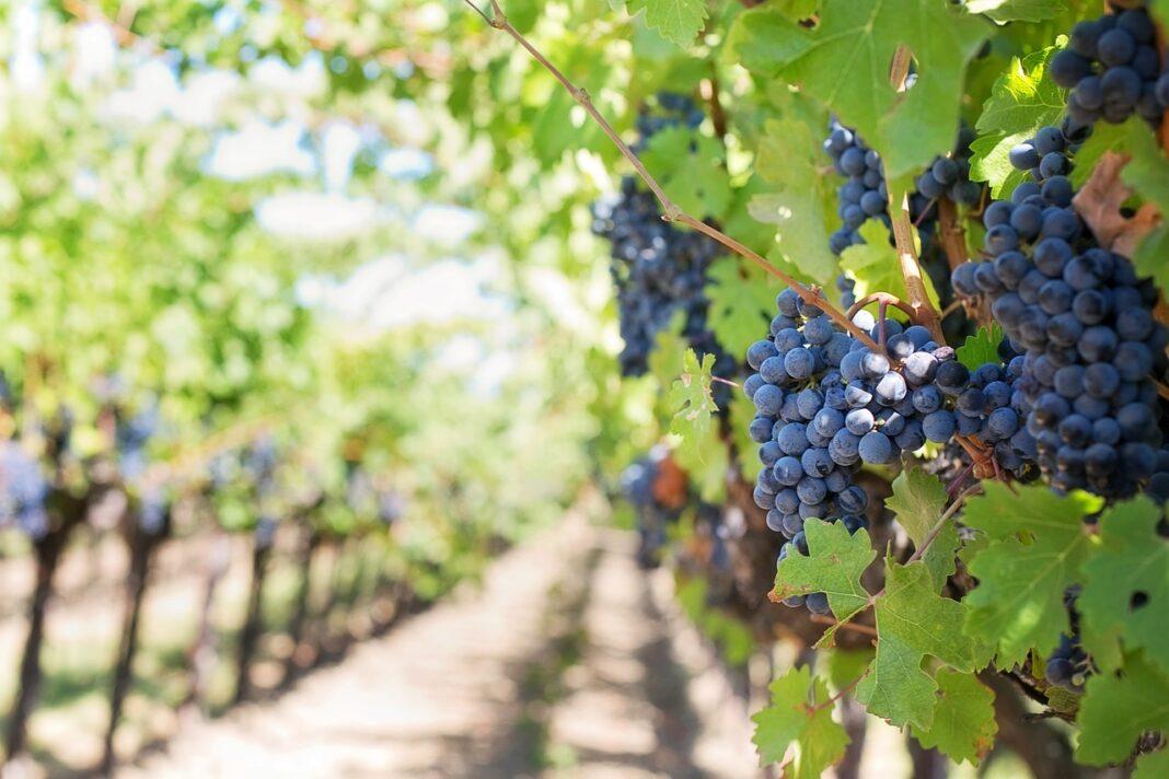 Zašto je važno da se vinari upišu u vinogradarski registar